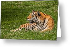 Tiger At Rest 3 Greeting Card