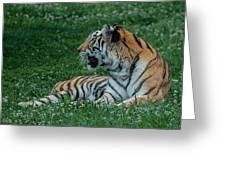 Tiger At Rest 4 Greeting Card