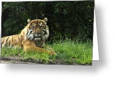 Tiger At Rest Greeting Card