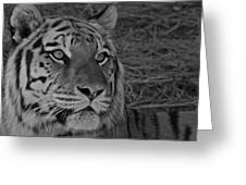 Tiger Bw Greeting Card