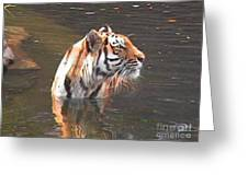 Tiger Getting Wet Greeting Card