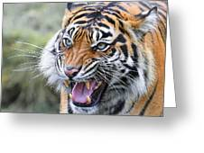 Tiger Growl Greeting Card