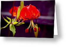 Tiger Lilly In Repose Greeting Card