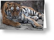 Tiger Love Greeting Card