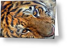 Tiger Peepers Greeting Card