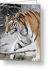 Tiger Prowls Greeting Card