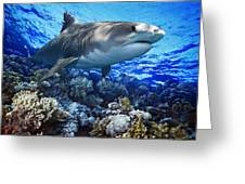 Tiger Shark Galeocerdo Cuvier Greeting Card