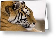 Tiger Sleeping Greeting Card