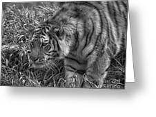 Tiger Stalking In Black And White Greeting Card