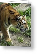 Tiger Stalking Greeting Card