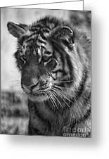 Tiger Stare In Black And White Greeting Card
