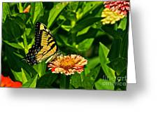 Tiger Swallowtail And Peppermint Stick Zinnias Greeting Card