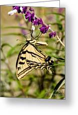 Tiger Swallowtail Butterfly Feeding Greeting Card