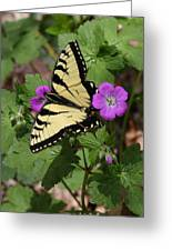 Tiger Swallowtail Butterfly On Geranium Greeting Card