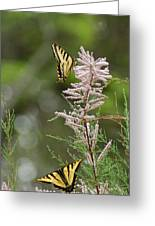 Tiger Swallowtails Greeting Card