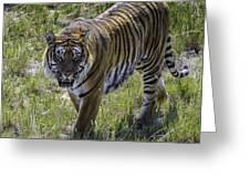 Tiger Greeting Card by Tom Wilbert