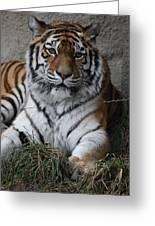 Tiger Waits Greeting Card