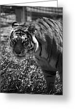 Tiger With A Cold Stare Greeting Card