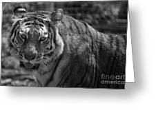 Tiger With A Fixed Stare Greeting Card