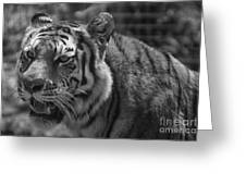 Tiger With A Hard Stare Greeting Card