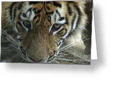 Tiger You Looking At Me Greeting Card