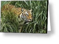 Tiger4 Greeting Card