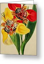 Tigridia Pavonia And Conchiflora Greeting Card