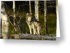 Timber Ghost Wolf Greeting Card