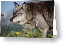 Timber Wolf Adult Portrait North America Greeting Card