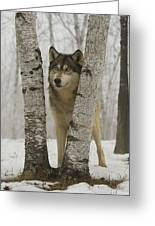 Timber Wolf Canis Lupus Greeting Card