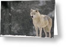 Timber Wolf Female North America Greeting Card