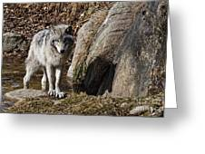Timber Wolf In Pond Greeting Card