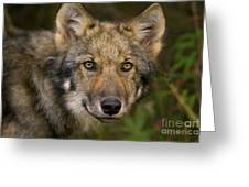 Timber Wolf In Denali Greeting Card