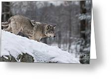 Timber Wolf On Hill Greeting Card