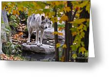 Timber Wolf On Rock Greeting Card