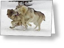 Timber Wolf  Pair Montana Greeting Card
