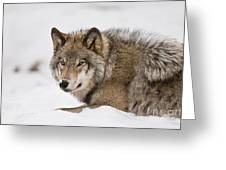 Timber Wolf Pictures 1028 Greeting Card