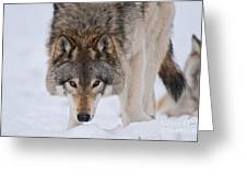 Timber Wolf Pictures 1042 Greeting Card