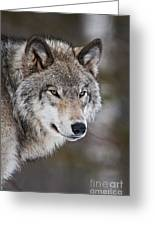Timber Wolf Pictures 1067 Greeting Card