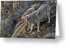 Timber Wolf Pictures 1094 Greeting Card