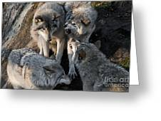 Timber Wolf Pictures 1096 Greeting Card