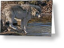 Timber Wolf Pictures 1101 Greeting Card