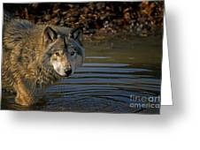 Timber Wolf Pictures 1103 Greeting Card