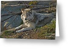 Timber Wolf Pictures 1148 Greeting Card