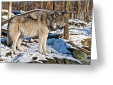 Timber Wolf Pictures 1175 Greeting Card