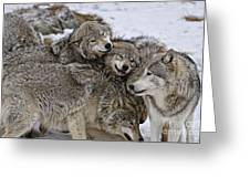 Timber Wolf Pictures 120 Greeting Card