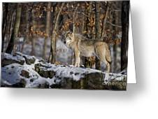 Timber Wolf Pictures 1206 Greeting Card