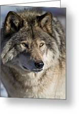 Timber Wolf Pictures 1218 Greeting Card