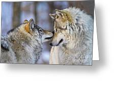 Timber Wolf Pictures 1230 Greeting Card
