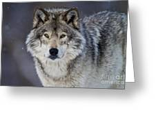 Timber Wolf Pictures 1271 Greeting Card